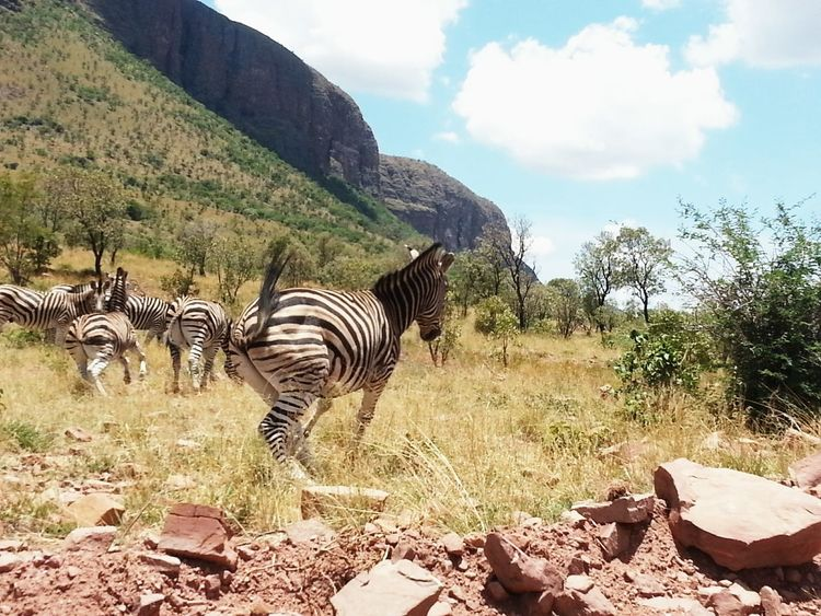 Herd Zebras Zebras Stripes Everywhere EyeEm Nature Lover Photographing Wildlife Beautiful ♥ Zebras Playing Zebra Love💜 No People Hill Nature_collection Nature Photography Natural Pattern Nature Makes Me Smile Nature_collection Landscape_collection EyeEmNatureLover Colour Of Life