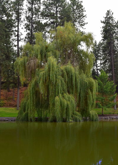 Beauty In Nature Day Forest Green Color Growth Idyllic Lake Land Nature No People Non-urban Scene Outdoors Plant Reflection Scenics - Nature Tranquil Scene Tranquility Tree Water Waterfront Willow Tree WoodLand