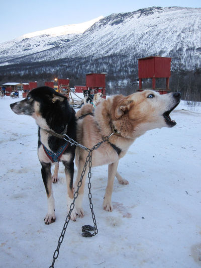 Dog sledding: close-up of howling huskies Dog Sledding Huskies Tromsø Winter Animal Themes Chained Chained Up Cold Temperature Day Dog Domestic Animals Howl Howling Husky Mammal Mountain Nature Outdoors Pets Snow Snowcapped Mountain Weather Winter Working Animals Working Dogs