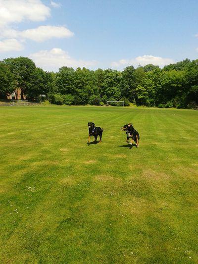 From My Point Of ViewFreya Mit Rocky Hundeleben Playing With The Dog Mein Hund Hunde Liebe ♡ Rottweiler Bernersennen Deutschland NRW Summer Views