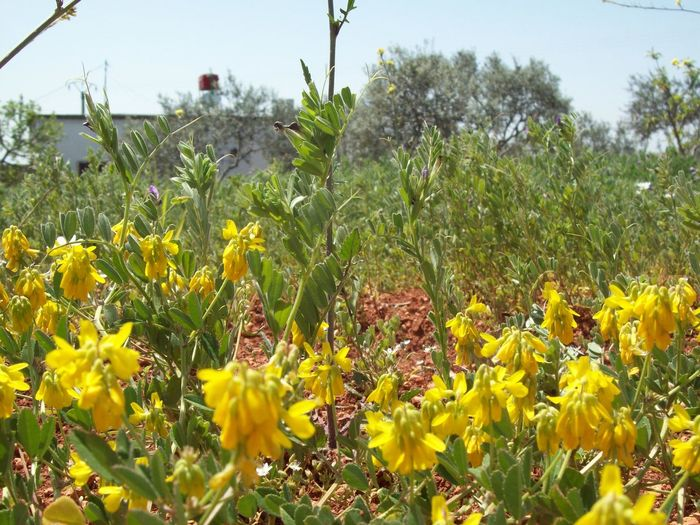 Rural house Syria Spring Spring Flowers Springtime Yellow Flower House Rural Olive Tree Olive Tree Field Rural Scene Flower Growth Yellow Nature Plant Field Day Beauty In Nature Tree Freshness Colour Your Horizn