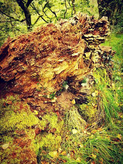 Rotting Wood Cwm Rheidol Huawei P9 Leica Wales❤