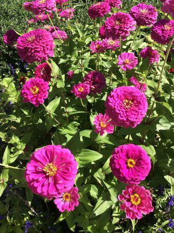 Glendale Pink Flowers next to pavement Purple Flower Greenery USA Denver