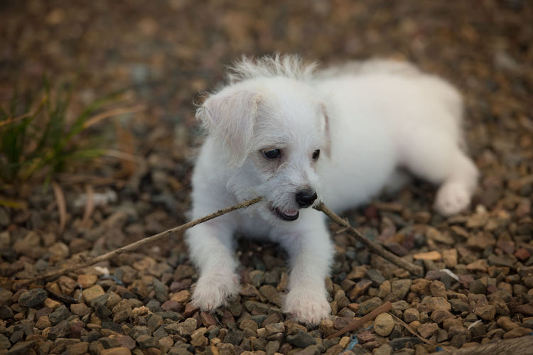 White puppy holding stick in its mouth
