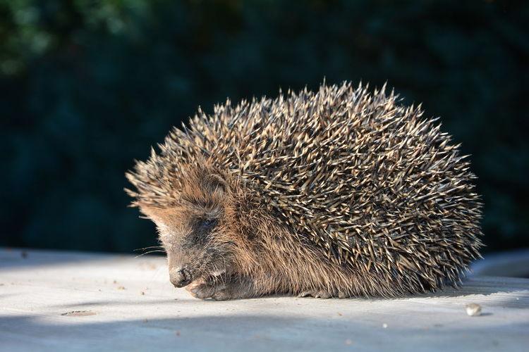 Close-up of an hedgehog