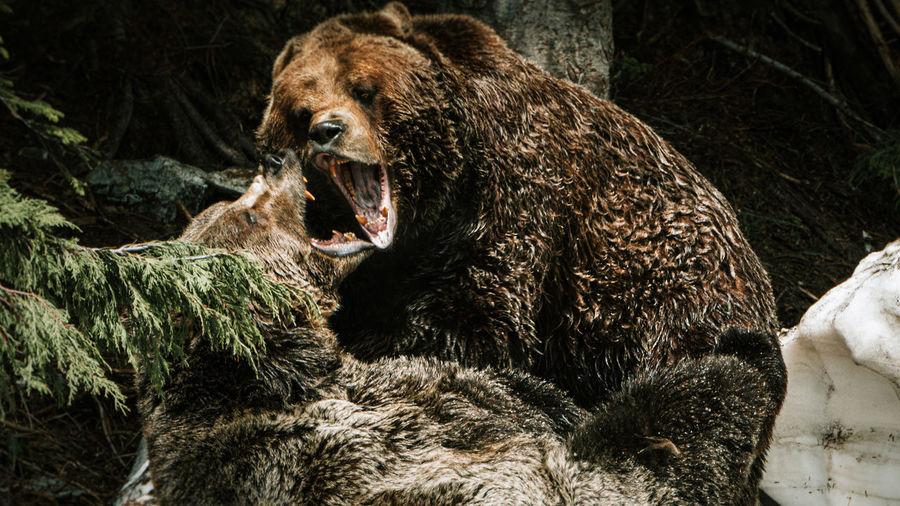 Pair of wild bears fighting