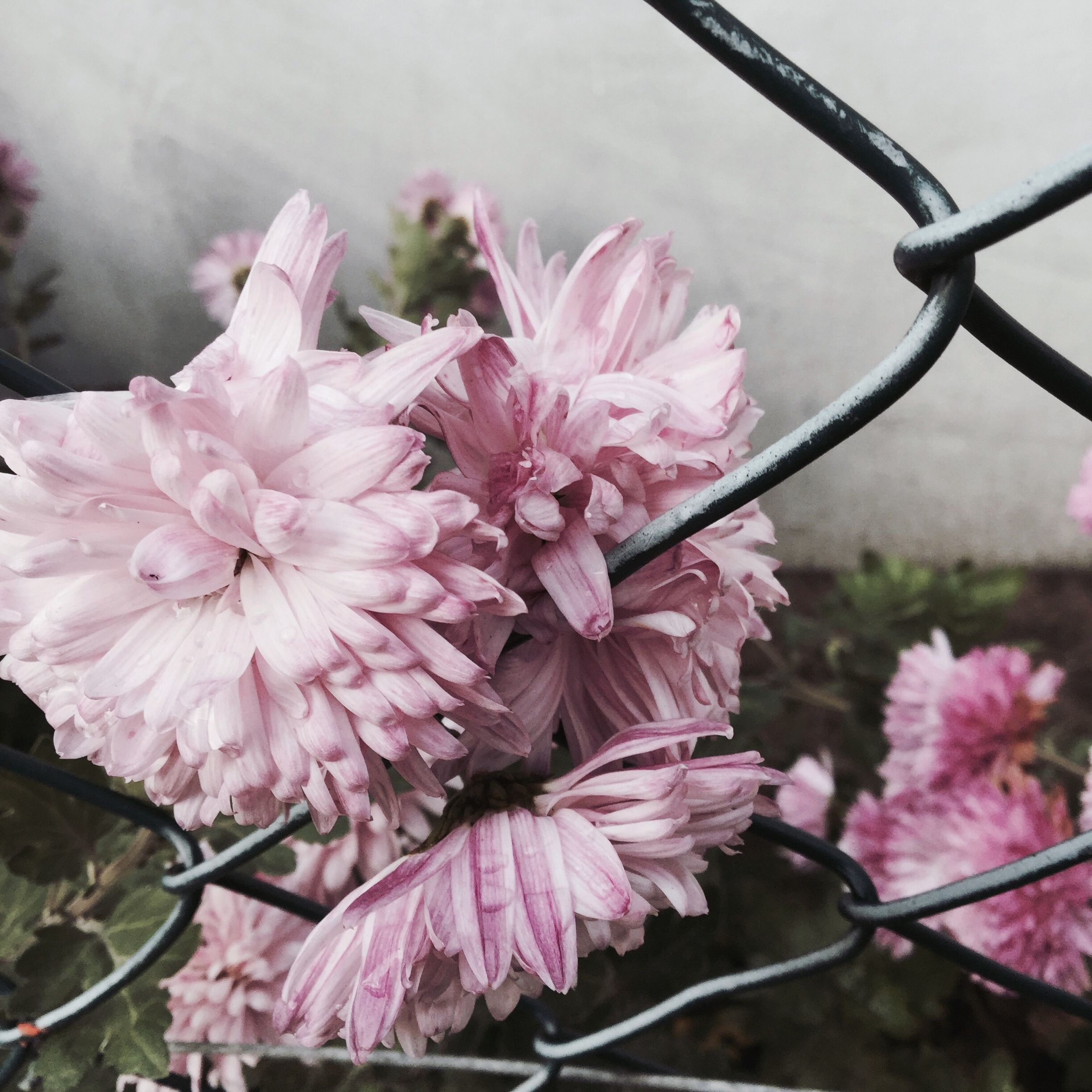 flower, freshness, fragility, pink color, petal, growth, beauty in nature, close-up, focus on foreground, nature, flower head, blooming, plant, blossom, in bloom, branch, day, twig, springtime, outdoors