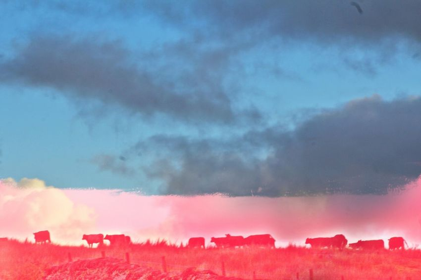 Moooving On MOOOoooooo Red Sky Cloud - Sky No People Beauty In Nature Nature Smoke - Physical Structure Tree Outdoors Day Contrast Complimentary Colors