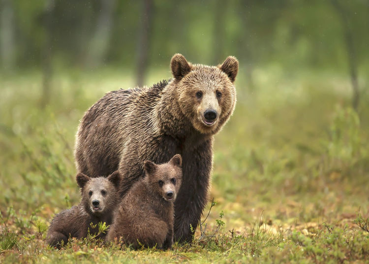 Bear with cubs at forest