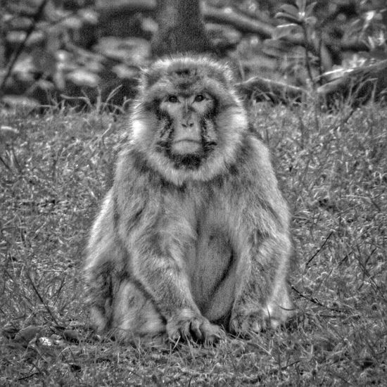 Taken at Monkey Forest in Trentham Gardens one of my favourite place Photography Beauty Of Nature The Essence Of Summer- 2016 EyeEm Awards Close Up Nature Close Up Photography EyeEm Nature Lover Malephotographerofthemonth Fujifilm Eye For Photography Eye 4 Photography An Eye For Detail Close-up Trentham Trentham Estate Nature Wildlife & Nature Majestic Nature Monkey Forest HDR Barbary Macaques MonkeyForest Black And White Collection  Wildlife Photography Monkey Nature And Wildlife By Tony Bayliss