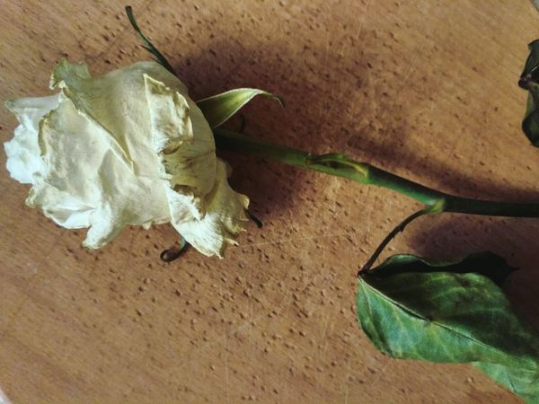Leaf Nature Close-up Fragility No People Dead Plant Dead Flowers Dead Nature Dead Flower Dead Flowers Need Love Too Nature White Rose White Rose Close Up One Rose роза Plant Wooden Background Roses_collection Dead Rose