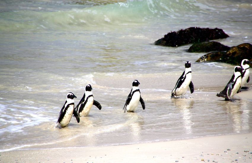 Pinguine Pinguine Pinguin Birds Animals EyeEm Animal Lover Eye4photography  Penguin First Eyeem Photo Penguins Penguin