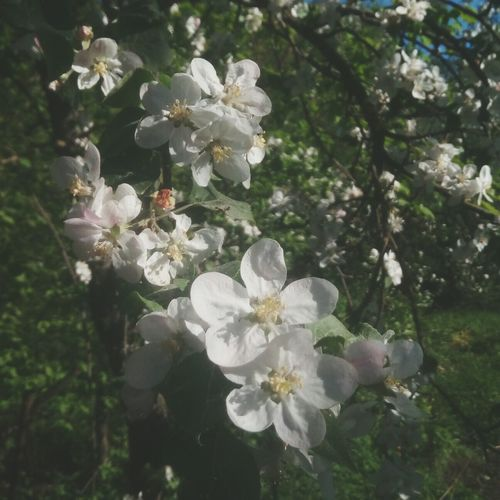 Flower White Color Nature No People Outdoors Springtime Plant Day Sun ☀ Beauty In Nature Tree Growth