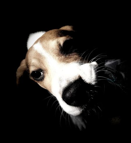 Animal Themes Beagle Beagle Love Beaglelove Beaglelovers Beagleoftheday Beagles  Black And White Black Background Blackandwhite Close-up Dog Dog Love Doglover Dogs Dogs Of EyeEm Dogslife Dog❤ Domestic Animals No People One Animal Pets Portrait Puppy Puppy Love