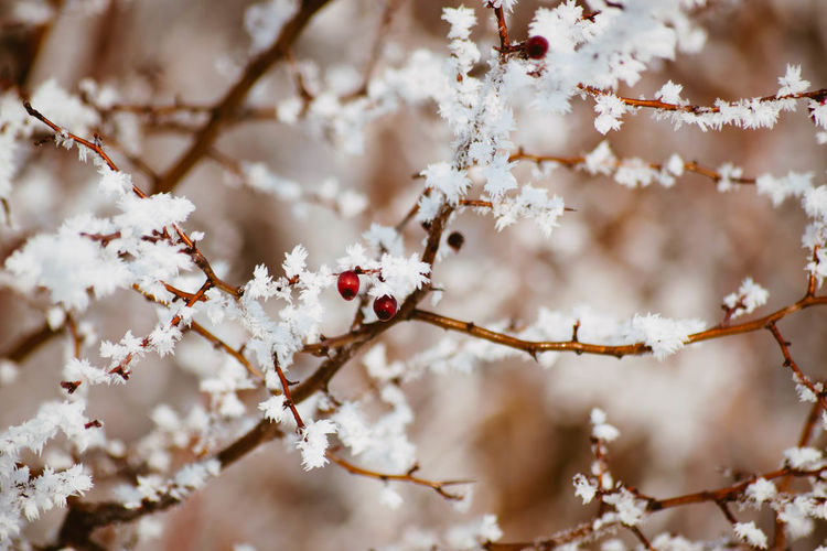 Plant Tree Branch Flower Beauty In Nature Freshness Growth Flowering Plant Fragility White Color Blossom Close-up Focus On Foreground Springtime Nature No People Vulnerability  Food Snow Day Outdoors Cherry Tree Cherry Blossom