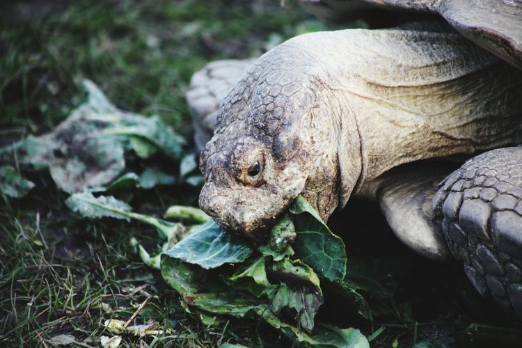 An extremely aged tortoise munching through some salad