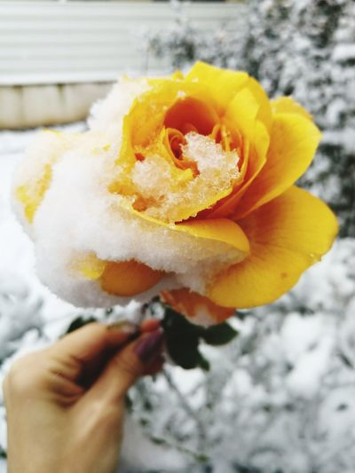 Yellow Flower Yellow Rose Snow Snow On Flower Frozen Nature Frozen Flowers Frozen Rose Winter Human Hand Human Body Part Holding One Person Close-up Cold Temperature Winter