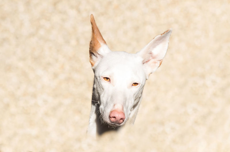 Close-Up Portrait Of Ibizan Hound Outdoors
