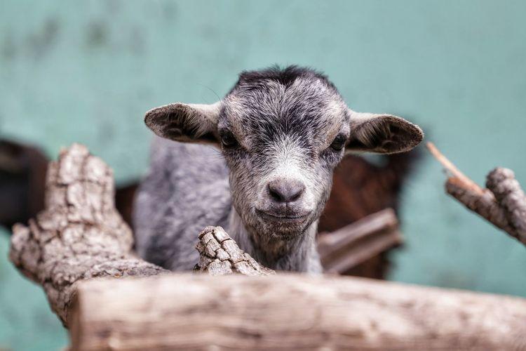 Goat Lamb Cute Cute Animals Goathead Goat Sheep Portrait Confined Space Looking At Camera Close-up Closing Moose Animal Eye Eye Animal Ear Skin Teeth HEAD Nose Hair
