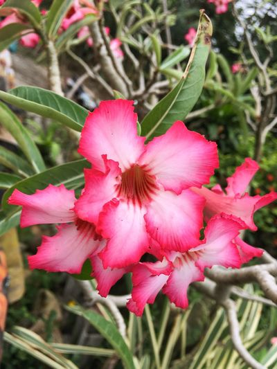 Adenium Obesum Desert Rose Freshness Natural Nature Pink Adenium Beauty In Nature Bignonia Bloom Blooming Blossom Close-up Day Flora Floral Flower Flower Head Fragility Freshness Garden Growth Impala Lily Mock Azalea Nature No People Outdoor Outdoors Petal Pink Color Plant Stamen
