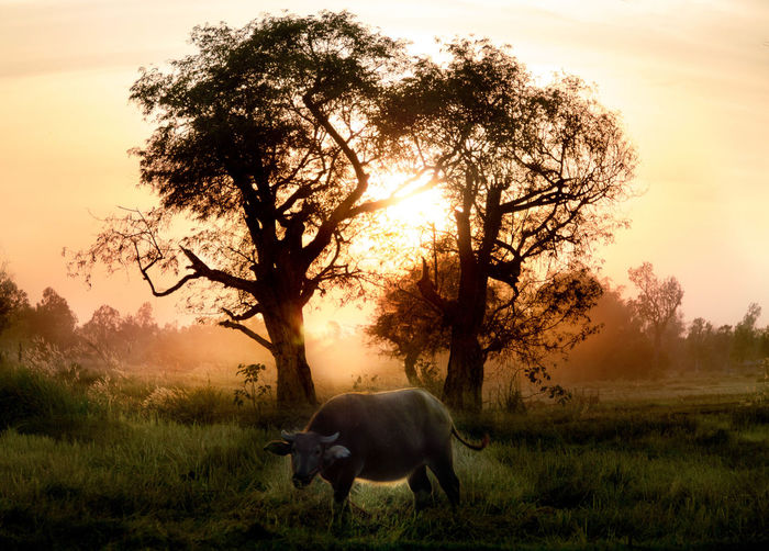 Side view of buffalo standing on field during sunset
