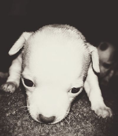 Baby Girl Chihuahua Love ♥ Puppy Love ❤ Intent on the Camera Pets Corner Animal Photography Check This Out Almost 4 Weeks Old From My Point Of View Tonal Contrast B&w Tinted Soft Blur Background Defocus A Day In The Life Of Me EyeEm Best Shots At Home My Unique Style Taking Photos My Dogs Puppies Petporn