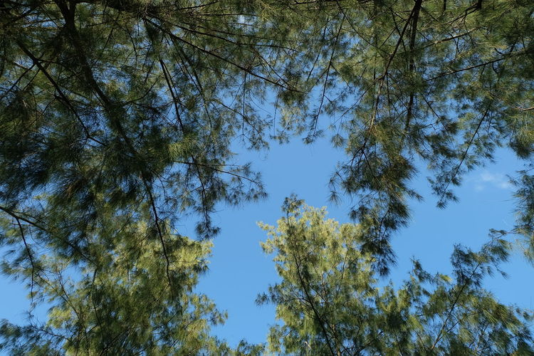 Tree Plant Low Angle View Sky Beauty In Nature Growth Tranquility Nature Day No People Branch Tree Canopy  Outdoors Blue Clear Sky Green Color Forest Plant Part Backgrounds Leaf Directly Below