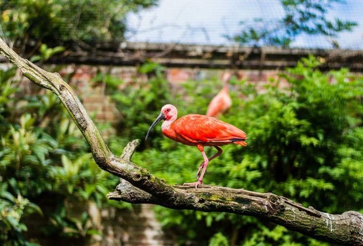 Scarlet Ibis On Branch