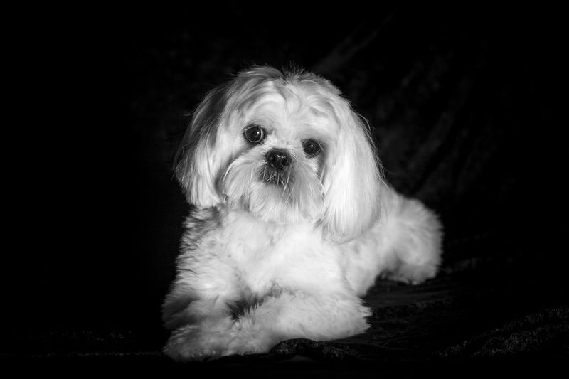 Shih Tzu Animal Hair Animal Themes Black Background Close-up Cute Day Dog Domestic Animals Indoors  Looking At Camera Mammal No People One Animal Pets Portrait Puppy Sitting Studio Shot