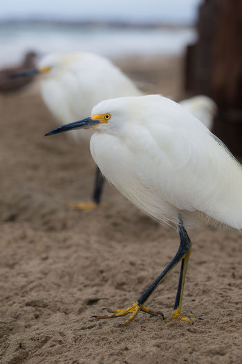Beach Beauty In Nature Birds On Beach Black Beak Fish Market Focus On Foreground Nature Outdoors Snowy Egret Southern California White Birds Yellow Feet
