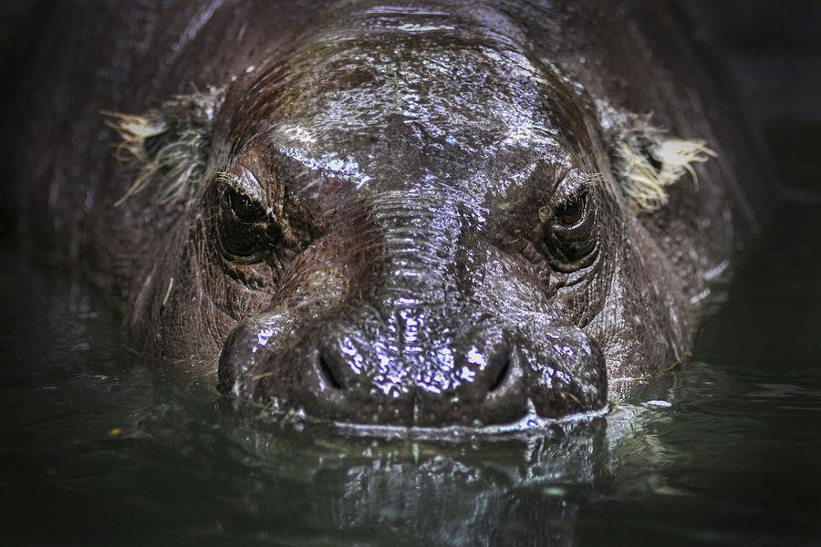 Hippo BIG Animal Water Africa Swim Omnivore Mama One Animal Animal Themes Animal Wildlife Animals In The Wild Vertebrate Close-up Animal Head  Animal Body Part Portrait Mammal Waterfront Looking At Camera Underwater Animal Eye Outdoors Nature Day