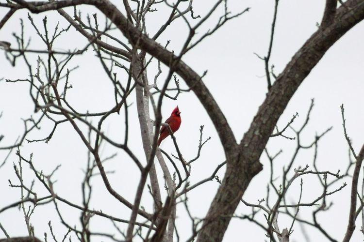 Caught this guy tonight! (Cardinal) Birds Nature Bird Watching Animals
