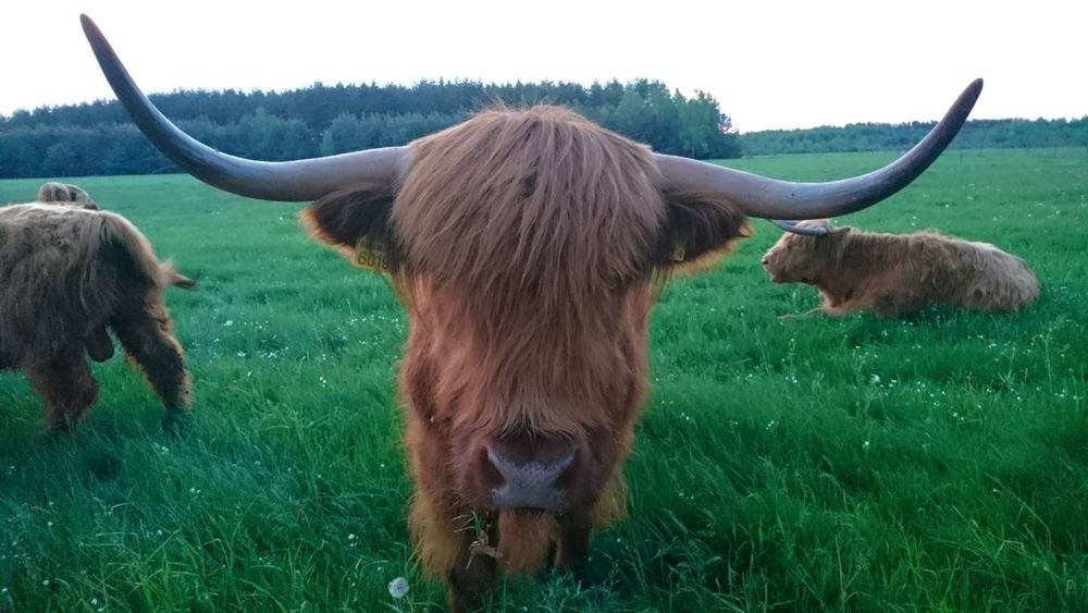 Country Country Life Country Living My Home Cow Grass Hello Nature Animal