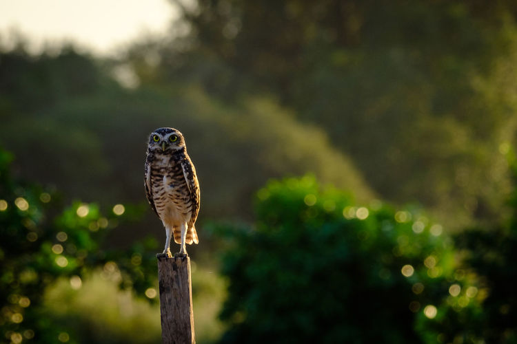 Portrait Of Owl Perching On Wooden Post Against Plants