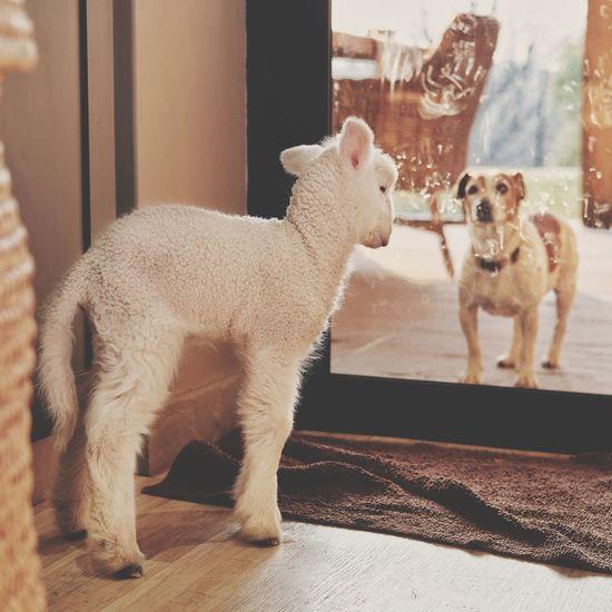 Standoff Standoff Dog Lamb Mammal Pets Animal Domestic Animal Themes Domestic Animals One Animal