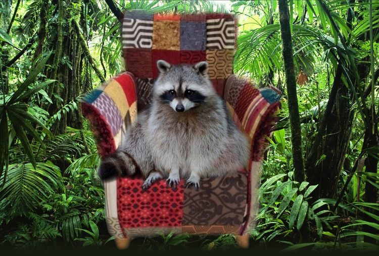 Animal Animal Themes Curiosity Enchanted Forest Forest Forest Photography Full Frame No People Raccoon Chilling On A Chair Raccoon Lover Raccoons Rule Relaxing Surrealist Art