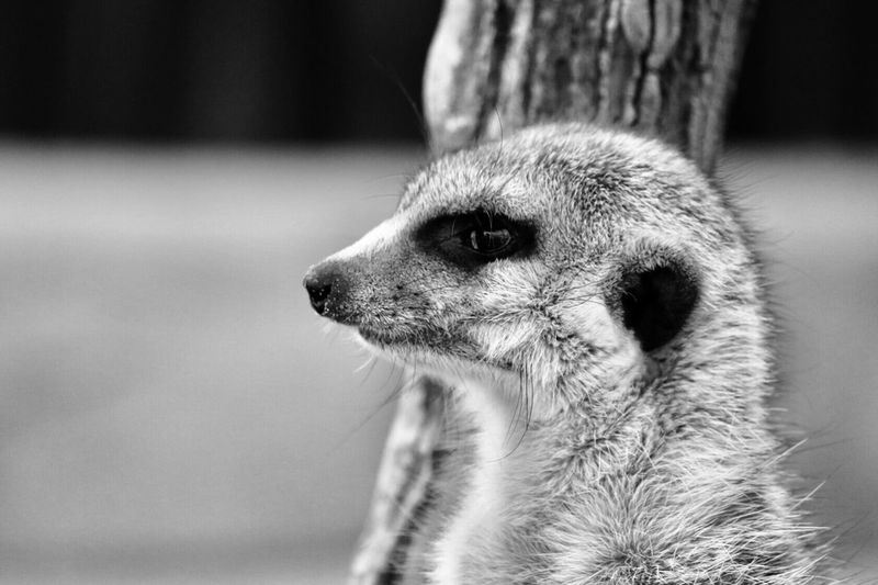 Compare the meerkat One Animal Animals In The Wild Animal Themes Close-up Mammal Meerkat Animal Wildlife Focus On Foreground Day Outdoors No People Nature Canonphotography Canon Portrait Blackandwhite Blackandwhite Photography Black And White Black & White Wildlife