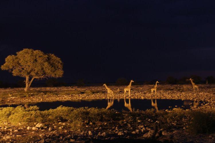 Wildlife & Nature Wild Animal Single Tree Giraffe Safari Animals Mammal Namibia Safari Water Waterhole Reflection Illuminated Tree Black Background Sky Landscape Grass Savannah Stray Animal Standing Water HUAWEI Photo Award: After Dark