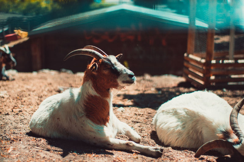 View of a goat on field