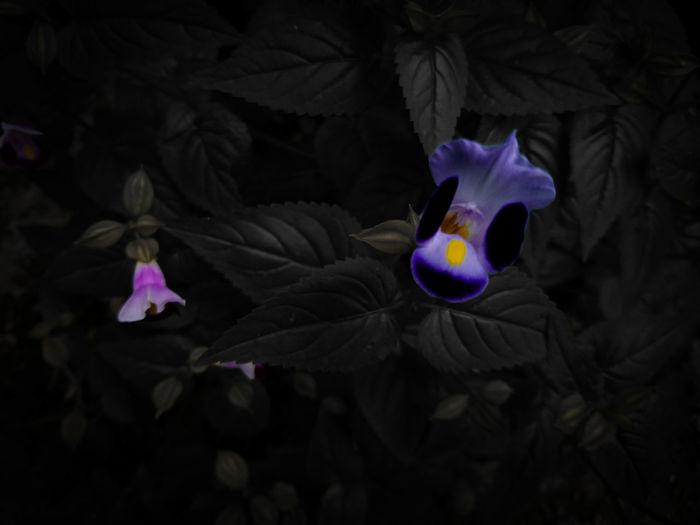 """Galore"" Flower Petal Fragility Freshness Flower Head Growth In Bloom Selective Focus Plant Purple Dark Beauty In Nature Nature Macro_collection Macro Nature Macro Photography Blossom Bloom Xperia X Eyeemphoto SONYXPERIAX EyeEm Gallery EyeEmBestPics Xperiax EyeemPhotos"
