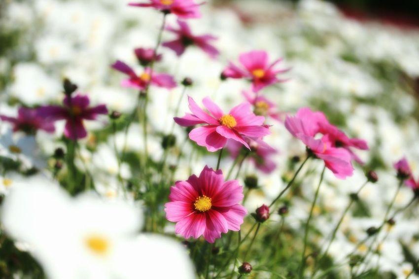コスモス Flower Collection Flowers_collection Pink Flower Flowers, Nature And Beauty