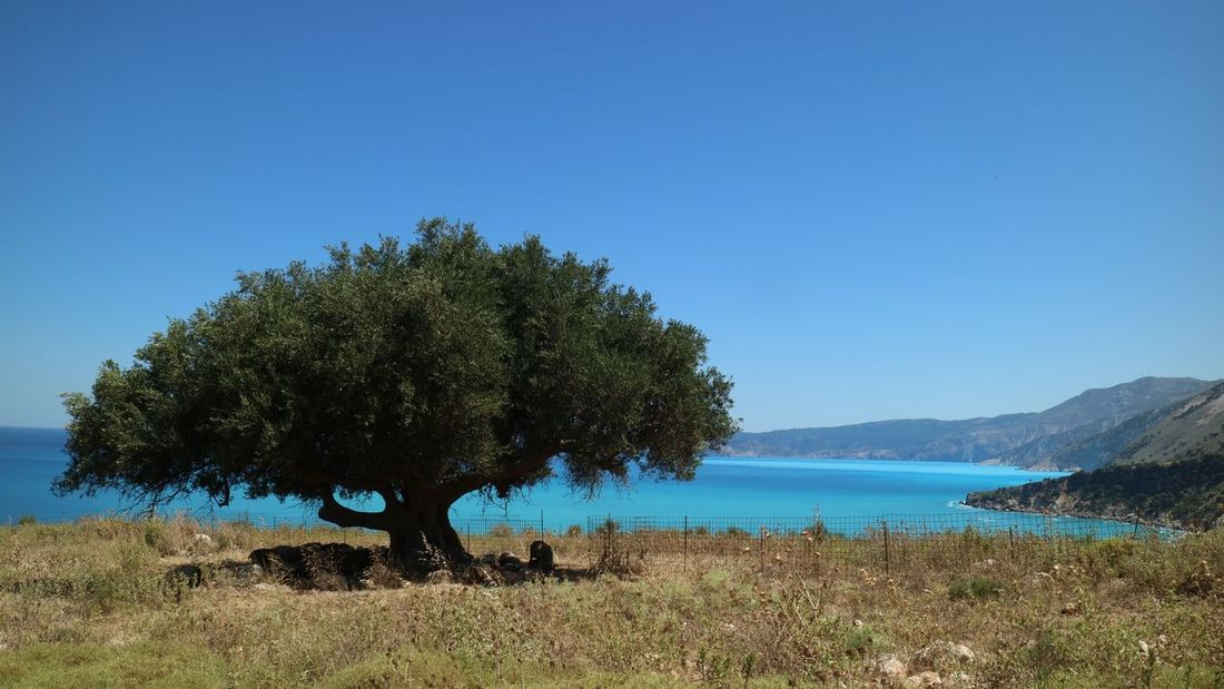 Tree Nature Blue Beauty In Nature Scenics Tranquil Scene Clear Sky Growth Water Outdoors Day No People Tranquility Landscape Grass Mountain Sky Sea Sea And Sky Olive Tree Blue Sea Greece Kefalonia, Greece Kefalonia