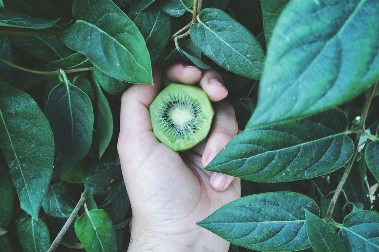 Close-Up Of Cropped Hand Holding Kiwi Amidst Plants