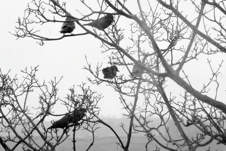 Branch Tree Bare Tree No People Sky Low Angle View Nature Silhouette Outdoors Winter Beauty In Nature Day Cold Birds Animal Themes Winter Landscapes Flock Of Birds Wind Swept Branches Calderdale Black And White Jackdaws Black & White Monochrome