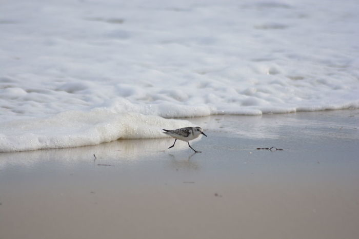 Run away Animals In The Wild Animal Themes Wildlife One Animal Beach Sand Nature Tranquility Focus On Foreground Sea Non-urban Scene Beauty In Nature Zoology No People Wave Surface Level Shore Jones Beach New York Long Island Bird Sand Piper Nature Beach Photography Wave