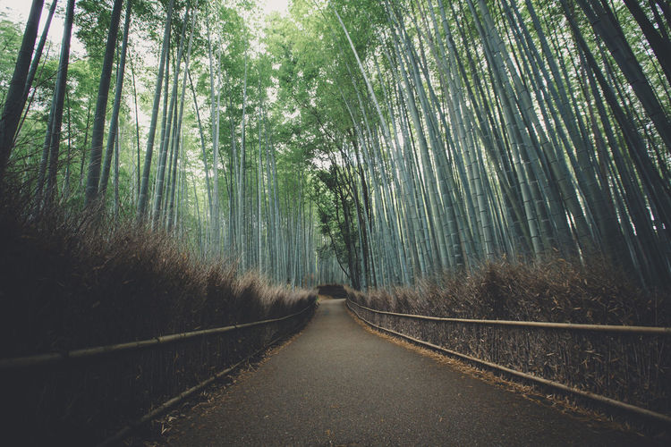 Empty footpath amidst bamboo grove
