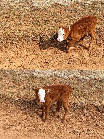 """The Struggle"" A young Red Angus calf struggles to its feet to a successful stand. Calf Cows Redangus Country Life Country Road Cattle Cattlecountry Rural Scenes Rural RuralExploration"