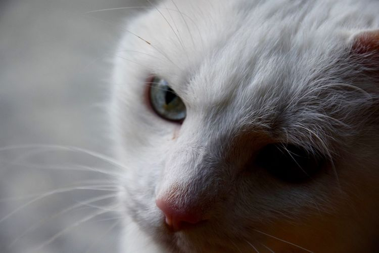 Animal Head  Animal Themes Cat Close-up Day Domestic Animals Domestic Cat Feline Indoors  Mammal Nature No People One Animal Pets Portrait Siamese Cat Whisker