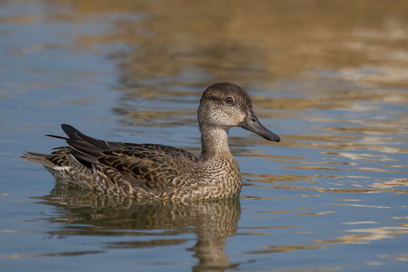 Eurasian Teal(female) Bird One Animal Animals In The Wild No People Lake Water Outdoors Bird Photos Birds🐦⛅ Beauty In Nature Sky Feather  Nature Day Beak Sea Life Waterfowl Sand Feather  Feather