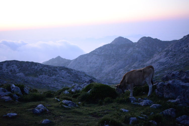 Cow grazing on mountain against sky during sunset